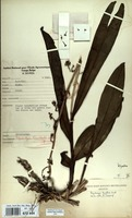 Filed as Polystachya tessallata Lindl. [family ORCHIDACEAE]