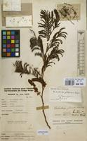 Filed as Dichrostachys cinerea (L.) Wight & Arn. [family LEGUMINOSAE-MIMOSACEAE]