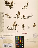 Lectotype of Trichomanes campanulatum Roxb. [family HYMENOPHYLLACEAE]