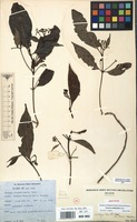 Isotype of Tarenna nitiduloides G.Taylor [family RUBIACEAE]