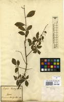 Filed as Euonymus alatus (Thunb.) Siebold [family CELASTRACEAE]