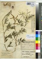 Isotype of Tephrosia transvaalensis Hutch. & Burtt Davy [family FABACEAE]