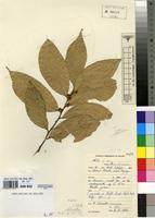Type of Cola chlorantha F.White [family STERCULIACEAE]