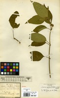 Isotype of Justicia ceylanica (Nees) T.Anderson var. capitata T.Anderson ex Hook. [family ACANTHACEAE]