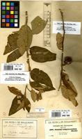 Filed as Solanum campylacanthum Hochst. ex A.Rich. [family SOLANACEAE]