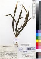 Isotype of Anomatheca laxa (Thunb.) Goldblatt subsp. azurea Goldblatt & Hutchings [family IRIDACEAE]