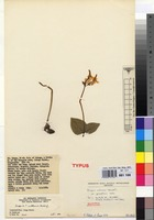 Isotype of Disperis anthoceros Rchb.f. var. grandiflora Verdc. [family ORCHIDACEAE]