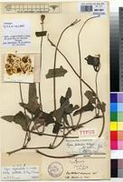 Holotype of Vigna pubescens R.Wilczek [family FABACEAE]