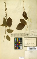 Filed as Croton aromaticus L. [family EUPHORBIACEAE]