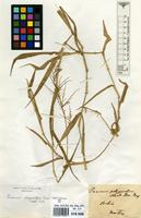 Filed as Panicum polygonatum Schrad. [family GRAMINEAE]