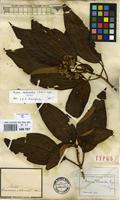 Filed as Miconia dodecandra (Desr.) Cogn. [family MELASTOMATACEAE]
