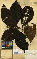 Lectotype of Miconia egensis Cogn. [family MELASTOMATACEAE]