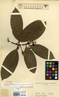 Isotype of Icacorea granatensis Rusby [family MYRSINACEAE]