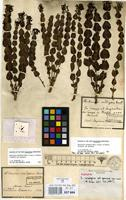 Syntype of Declieuxia cordigera Mart. & Zucc. ex Schult. & Schult.f. var. genuina Mull.Arg. [family RUBIACEAE]