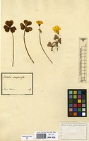 Filed as Oxalis compressa L.f. [family OXALIDACEAE]