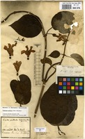 Filed as Peltastes peltatus (Vell.) Woodson [family APOCYNACEAE]