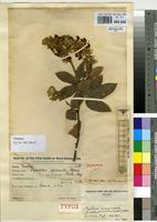 Isotype of Rhynchosia pycnantha Harms [family FABACEAE]