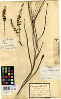 Type of Eria paniculata Lindl. [family ORCHIDACEAE]