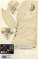 Filed as Drypetes occidentalis (Mull.Arg.) Hutch. [family EUPHORBIACEAE]