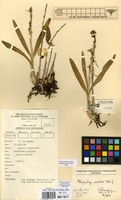 Filed as Polystachya modesta Rchb.f. [family ORCHIDACEAE]