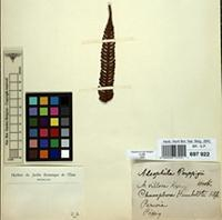 Type of Alsophila poeppigii Hook. [family CYATHEACEAE]