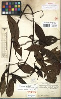 Isotype of Chomelia gilletii De Wild. & T.Durand [family RUBIACEAE]