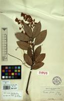 Type of Persea fusca Mez var. angustifolia Mez [family LAURACEAE]