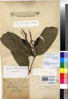 Filed as Oxyanthus pallidus Hiern [family RUBIACEAE]
