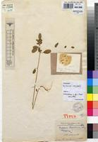 Holotype of Crotalaria lusamboensis R.Wilczek [family FABACEAE]