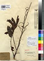 Holotype of Ostryoderris lucida (Welw.) Baker f. var. intermedia Hauman [family FABACEAE]