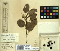 Isotype of Cocculus wightianus Wall. [family MENISPERMACEAE]