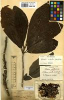 Isotype of Colbertia scabrella D.Don [family DILLENIACEAE]
