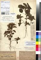 Isotype of Acalypha crenata Hochst. ex A.Rich. [family EUPHORBIACEAE]