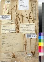 Holotype of Trichopteryx elegans (A.Braun) Engl. var. hensii De Wild. [family POACEAE]