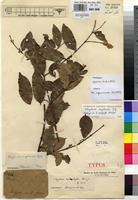Holotype of Strychnos nauphylla P.A.Duvign. [family LOGANIACEAE]