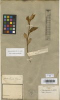Filed as Croton solanaceus (Mull.Arg.) G.L.Webster [family EUPHORBIACEAE]