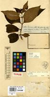 Isotype of Chrysothemis dichroa Leeuwenb. [family GESNERIACEAE]