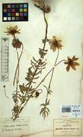 Isotype of Dahlia pubescens S.Watson [family COMPOSITAE]