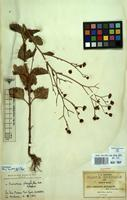 Isotype of Schkuhria platyphylla B.L.Rob. & Greenm. [family COMPOSITAE]