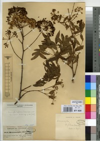 Isotype of Heteromorpha abyssinica Hochst. ex A.Rich. [family UMBELLIFERAE]