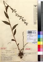 Isotype of Habenaria supplicans Summerh. [family ORCHIDACEAE]