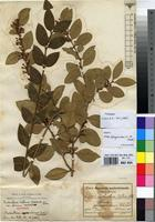 Isotype of Acokanthera deflersii Schweinf. ex Lewin var. africana Markgr. [family APOCYNACEAE]