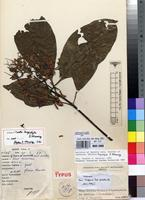 Isotype of Pavetta longistyla S.D.Manning [family RUBIACEAE]