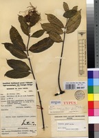 Type of Strophanthus preussii Engl. & Pax var. preussii [family APOCYNACEAE]