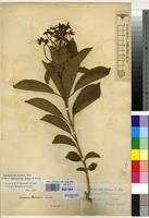 Holotype of Clerodendrum hockii De Wild. [family VERBENACEAE]