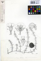 Filed as Uebelinia scottii Turrill [family CARYOPHYLLACEAE]