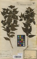 Filed as Chromolaena laevigata (Lam.) H.M.King & H.Rob. [family COMPOSITAE]