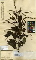 Isotype of Gouania blanchetiana Miq. [family RHAMNACEAE]