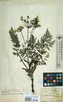 Syntype of Deanea longibracteata J.M.Coult. & Rose [family UMBELLIFERAE]
