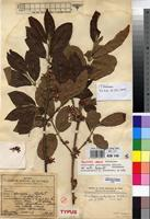 Holotype of Sericanthe andongensis (Hiern) Robbr. var. mollis Robbr. [family RUBIACEAE]